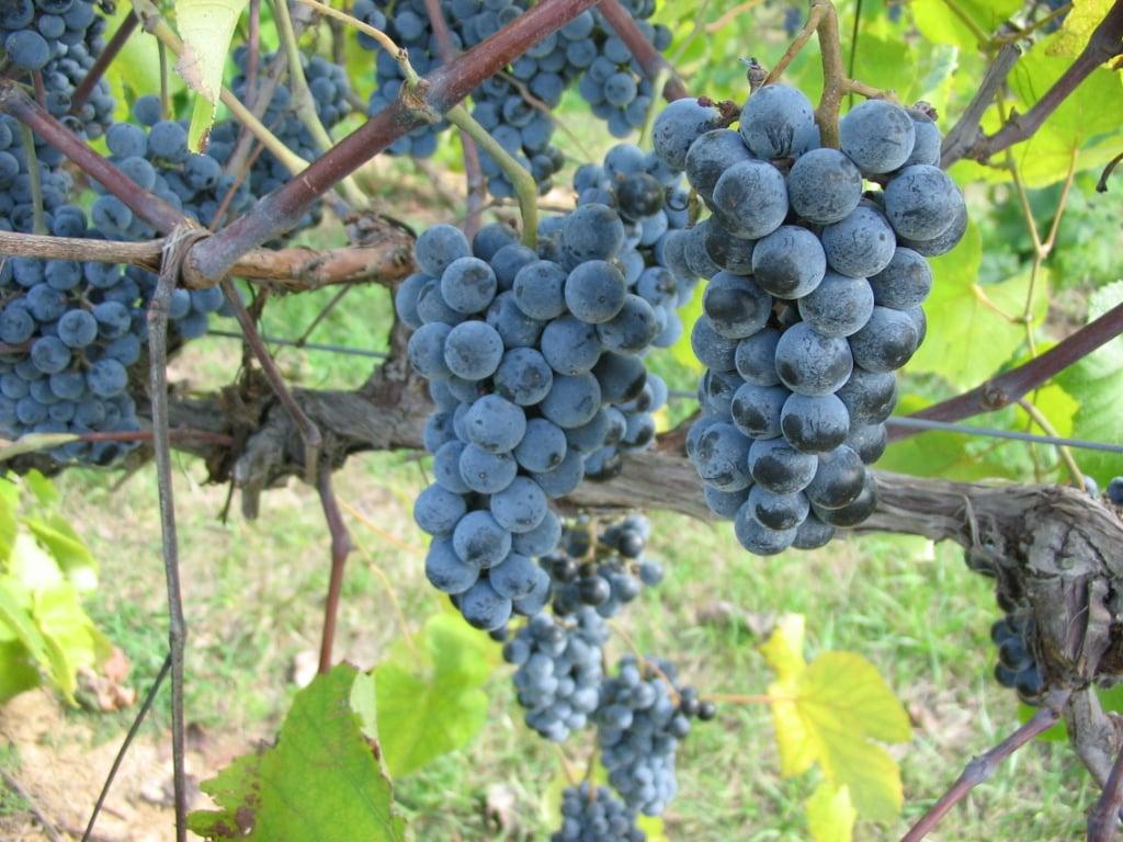 The Day of the Norton Grape