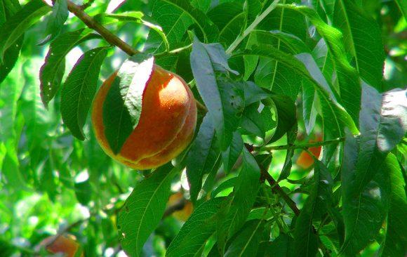Peach and Wine Summertime Jubilee Premier Weekend - July 28-29